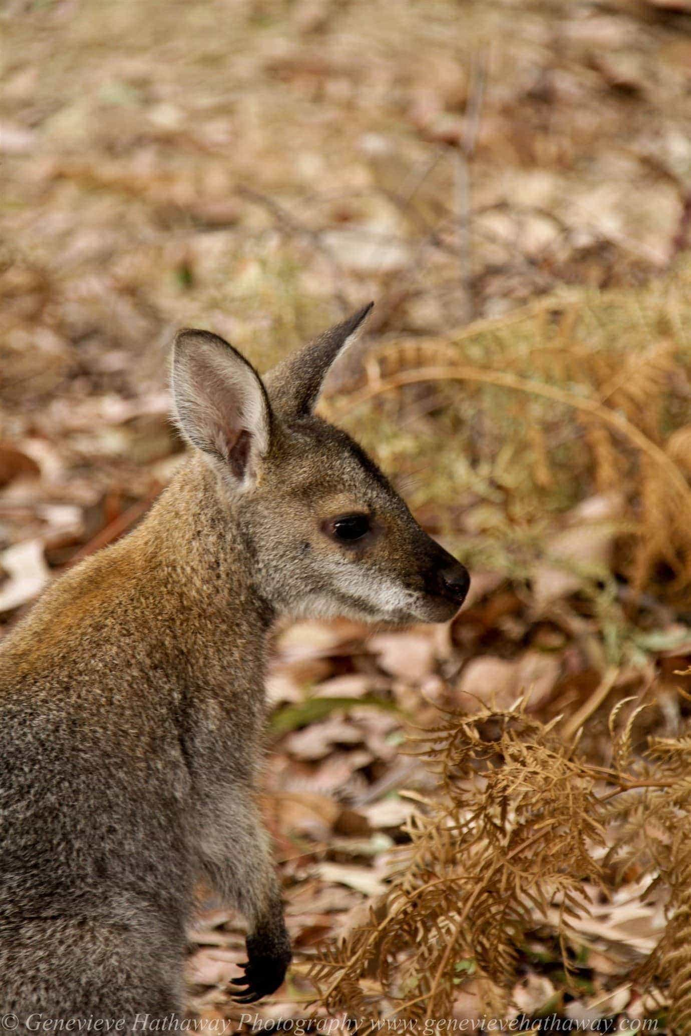 43-small wallaby_wm